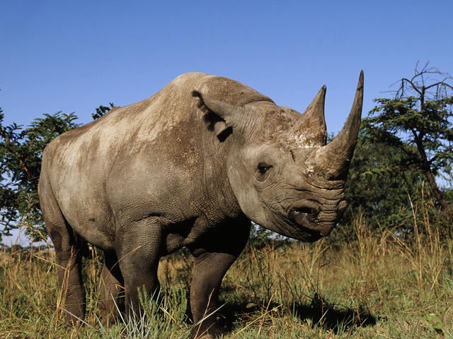 animals that will go extinct black rhino