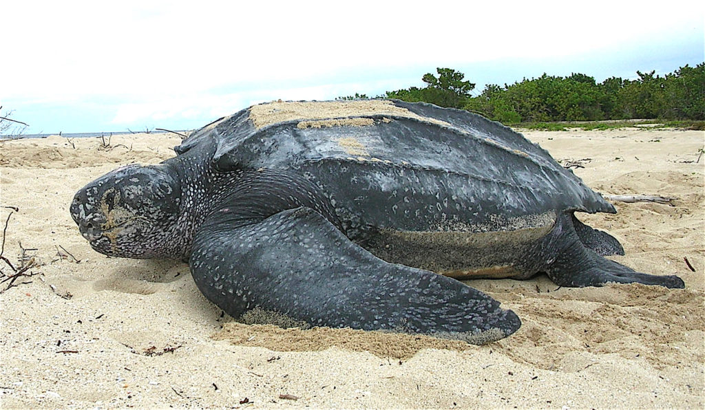 animals that will go extinct leatherback turtle