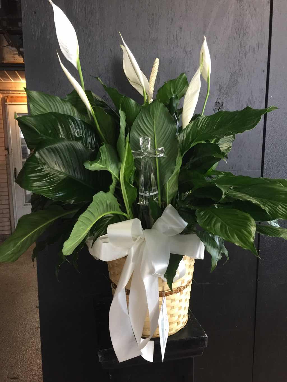 Designer's Choice - Plant by Fasan Florist