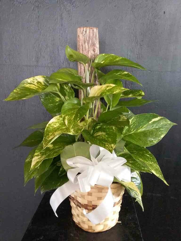 Solace Ivy Planter by Fasan Florist