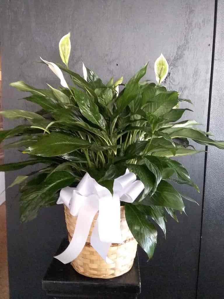 Simply Elegant Spathiphyllum - Small by Fasan Florist