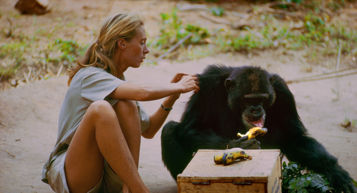 Gombe, Tanzania - David Greybeard was the first chimp to lose his fear of Jane, eventually coming to her camp to steal bananas and allowing Jane to touch and groom him. As the film JANE depicts, Jane and the other Gombe researchers later discontinued feeding and touching the wild chimps. The feature documentary JANE will be released in select theaters October 2017. (National Geographic Creative/ Hugo van Lawick)