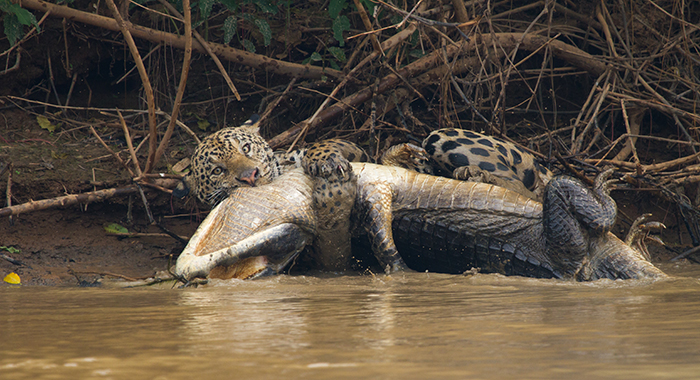 Jaguar hunting a crocodile on the river banks in the Pantanal, Brazil. (National Geographic/Adrian Seymour)