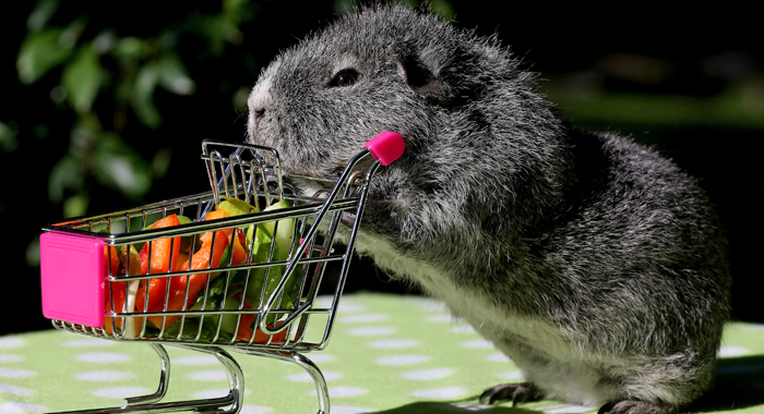 A guinea pig pushing a tiny shopping cart
