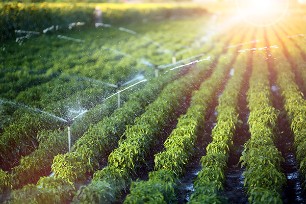 Sprinklers irrigate a vegetable crop