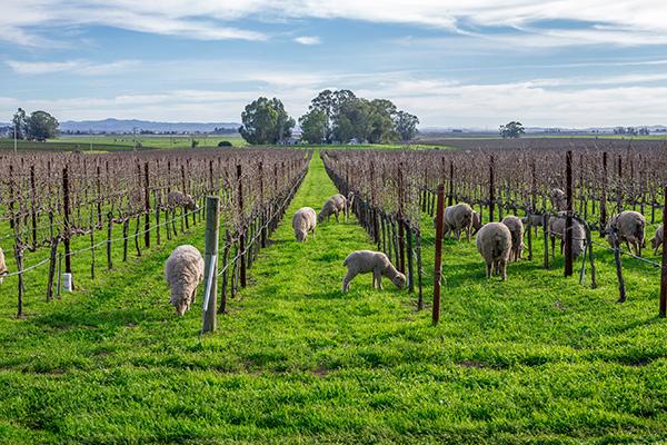 Sheep grazing in a vineyard