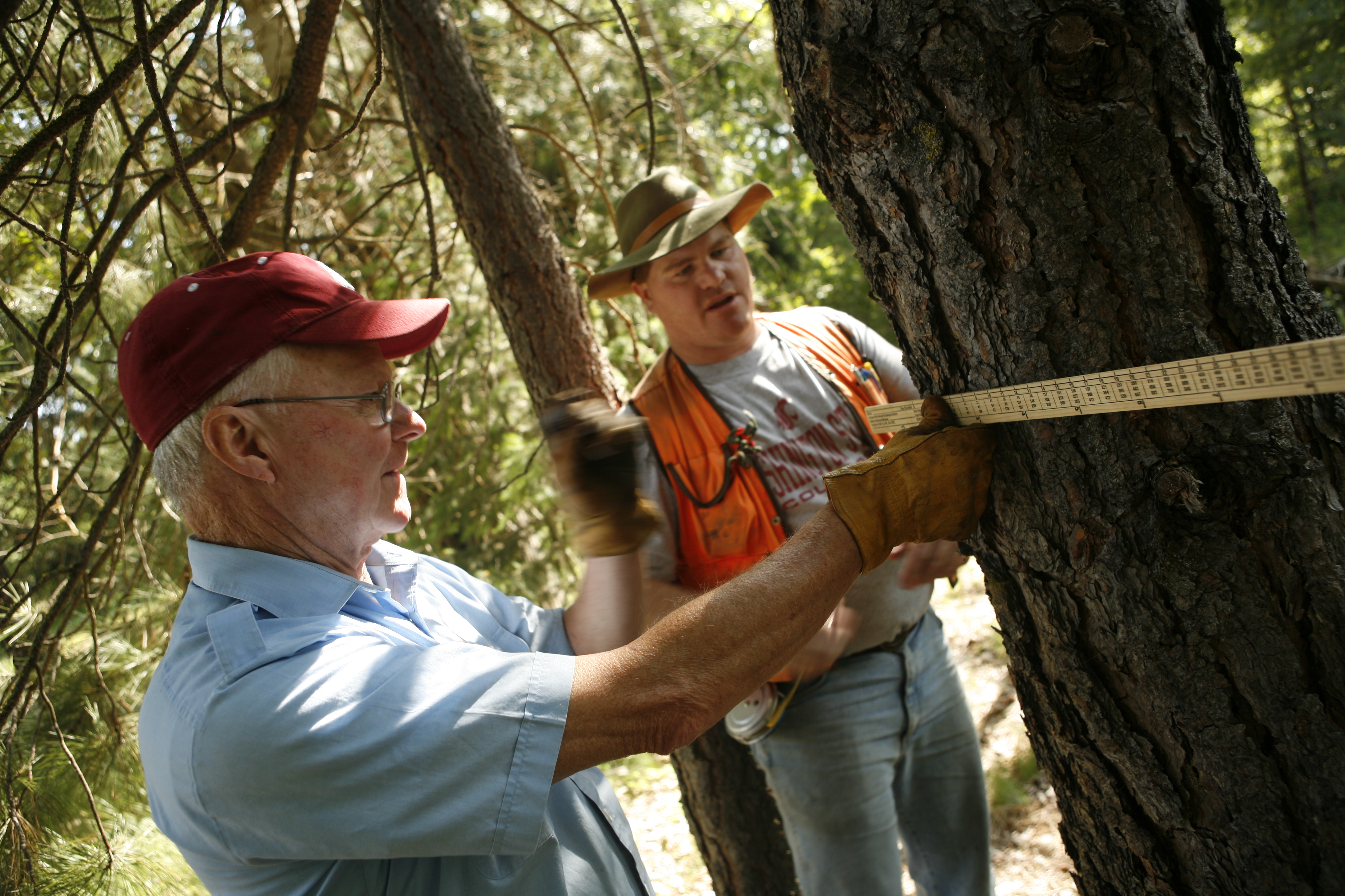 forest landowner measuring tree diameter
