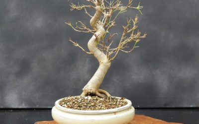 The Secrets Of How To Grow And Care For Your Bonsai Tree