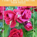 7 Simple Ways To Care For Your Roses