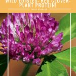 Wild Edibles- Red Clover- Plant Protein!