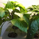 Hydroponics Peppers — Deep Water Culture — CFL — DIY – Homemade