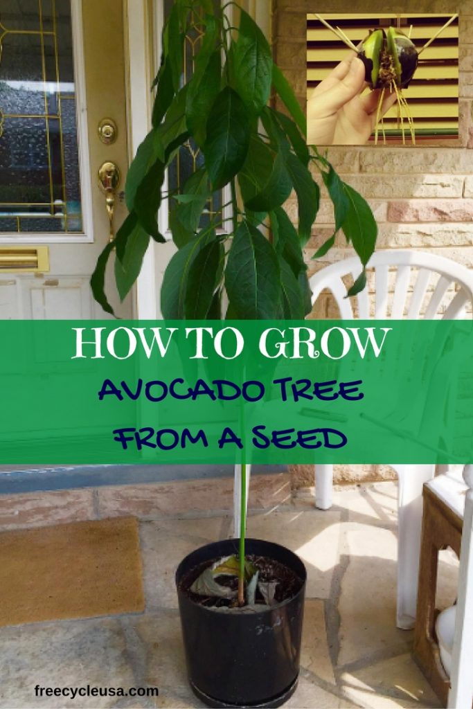 how to grow an avocado tree in michigan