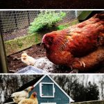 5 Simple Steps on How to Build a Backyard Chicken Coop