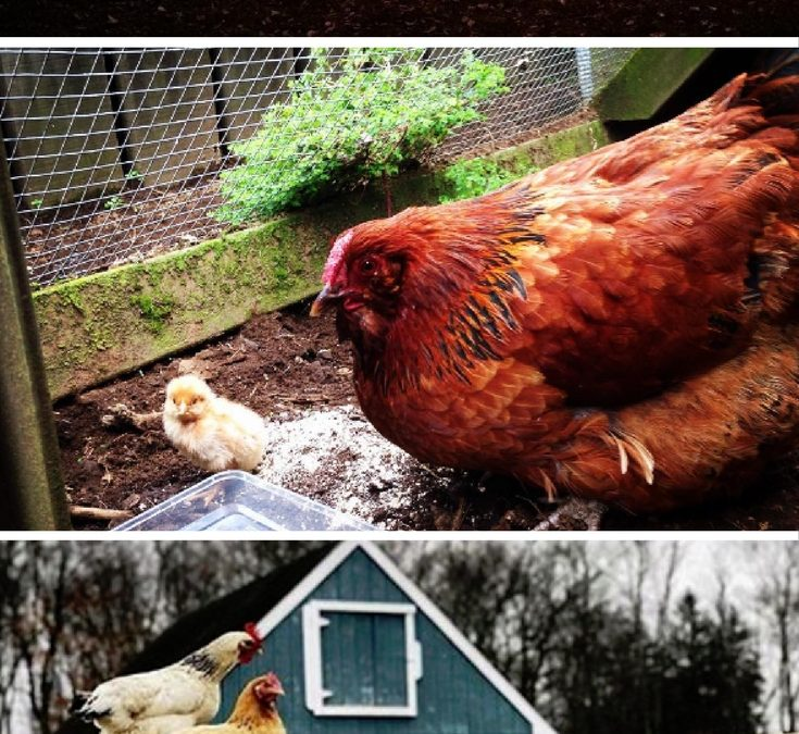 how to build a very simple chicken coop