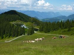legelésző tehenek a Zillertali-Alpokban
