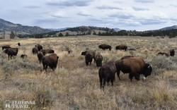 szabadon legelésző bölénycsorda a Yellowstone Nemzeti Parkban