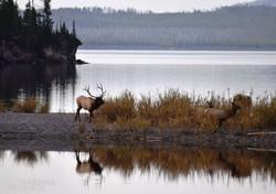 vapitik a Yellowstone-tó partján