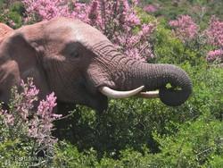 elefánt az Addo Nemzeti Parkban
