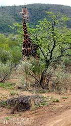zsiráf a Pilanesberg Nemzeti Parkban