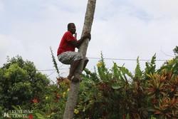 a Sun Valley ültetvény egyik dolgozója fára mászás közben