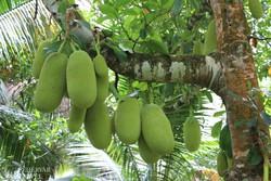 egzotikus gyümölcs a Sun Valley ültetvényen