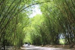 a Bamboo Avenue