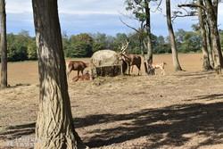 legelésző szarvasok Bőszénfán
