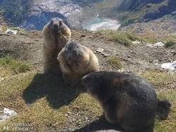 mormoták a Ferenc József-magaslaton