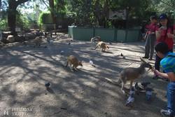 kenguruk közt a Featherdale állatkertben