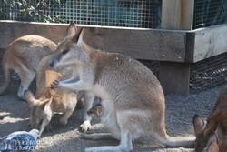 fagyizó kenguru a Featherdale állatkertben
