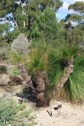tipikus ausztráliai növény, a fűfa