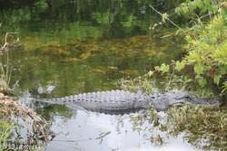 aligátor az Everglades Nemzeti Parkban