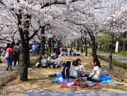 cseresznyefa virágzás Kyotóban