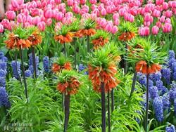 virágok Keukenhofban