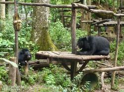 ázsiai medvék a Kuangsi vízesések közelében