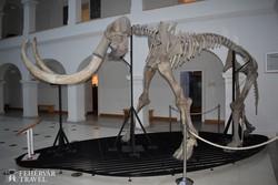 a gyöngyösi Mátra Múzeum híres lakója, a mamut