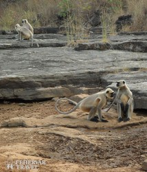 kíváncsi majmok a Panna Nemzeti Parkban
