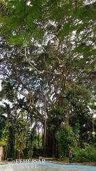 óriási fa a Shaw Park botanikus kertben
