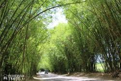 a Bamboo Avenue (Bambusz sugárút)