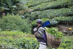 teaszedő a Cameron-hegység egyik teaültetvényén