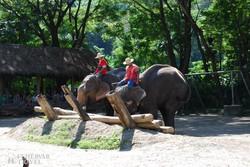 elefántok munkában az elefánt farmon
