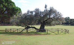 az 1600 éves olajfa Nagy-Brioni szigetén