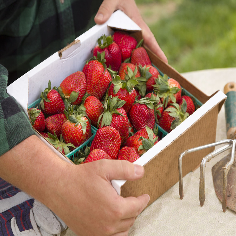 Gathering Fresh Strawberries