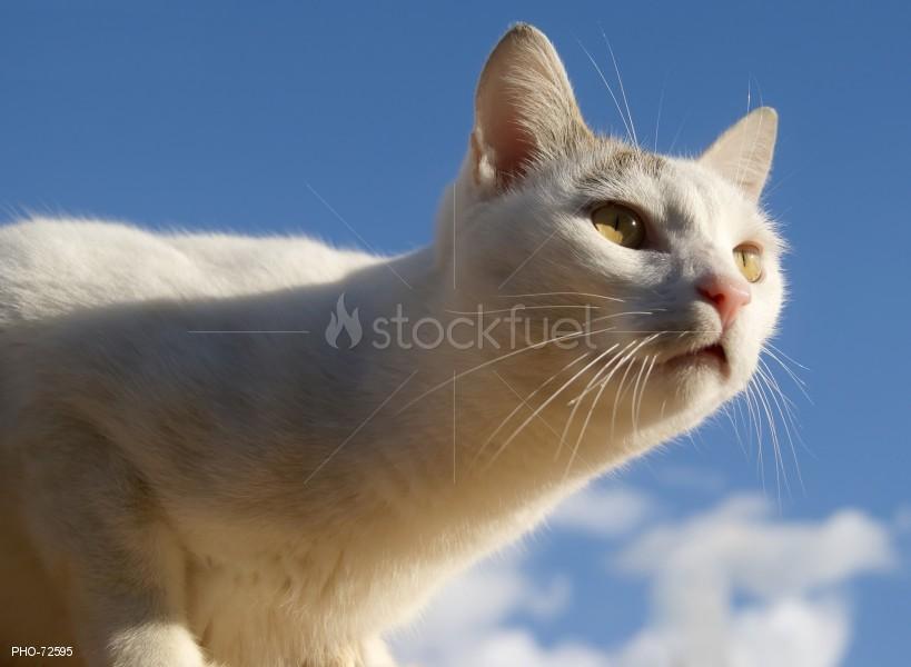 White Feline