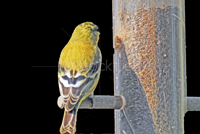 Feeding Yellow Finch