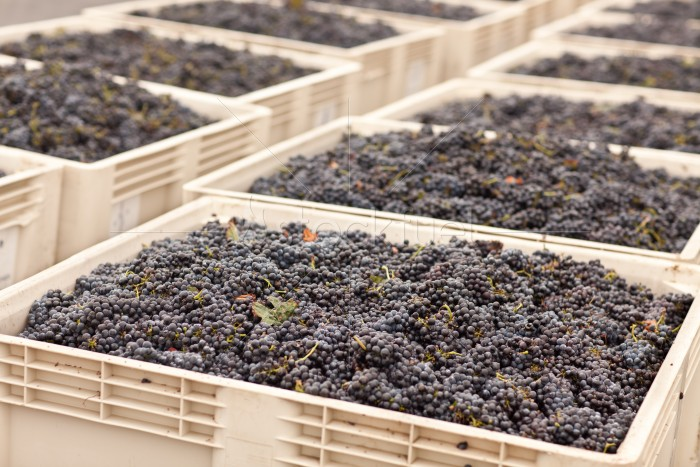 Harvested Red Wine Grapes in Crates