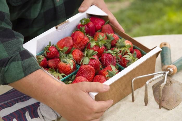 Farmer Gathering Fresh Strawberries