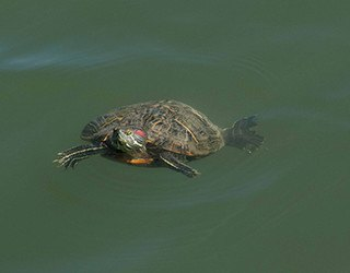 Turtle in the pond at Rv Resorts Houston