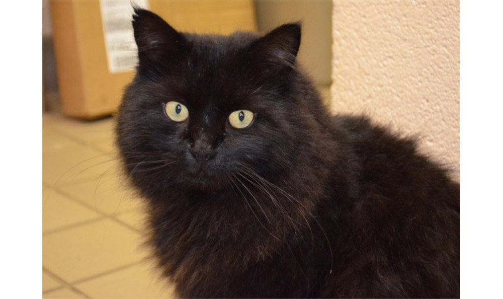 Ceelo the cat at Greenbrier Veterinary Hospital