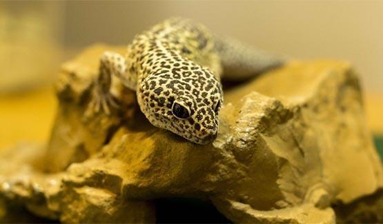 Leo, Leopard Gecko